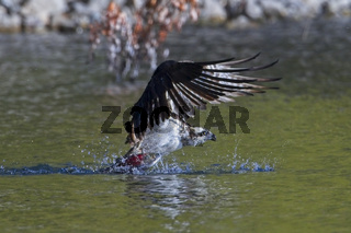 Osprey flaps its wings to liftoff with the fish.