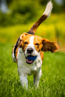 Beagle dog fun in garden outdoors run and jump with ball towards