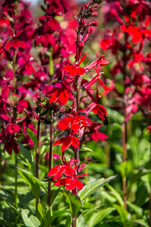 Zierpflanzen mit roten Blüten