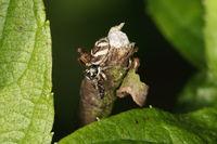 Zebraspringspinne mit Ameise als Beute