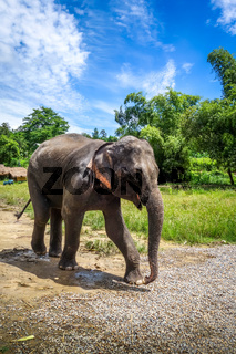 Baby elephant in protected park, Chiang Mai, Thailand