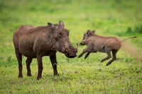 Warthog facing camera with baby jumping behind