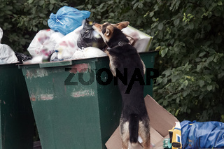 shepherd dog digging with head in trash can.