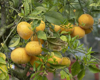 Abundance oranges tree
