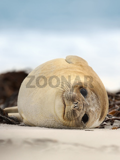Southern Elephant seal lying on a sandy beach