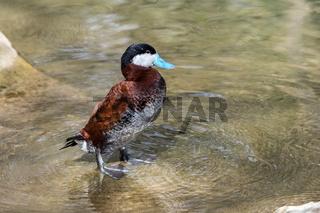 Ruddy Duck, Oxyura jamaicensis, swimming on water surface