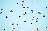 high degree of interaction among flying flock of starlings