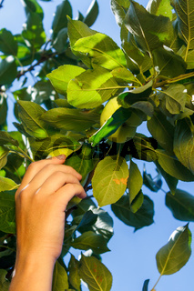 The hand of a white woman pluck a green apple from a branch with green leaves against a blue sky.