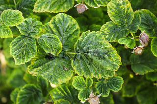A closeup background of variegated raspberry leaves