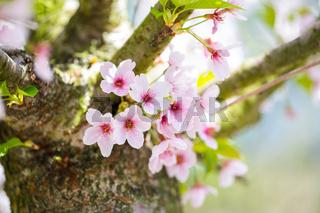 Nahaufnahme von hellrosa Kirschblüten im sonnigen Frühling