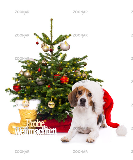 Adult beagle dog with christmas tree isolated on white background