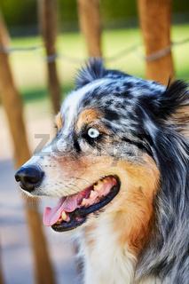 Blick eines Australian Shepherd