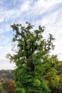 yongmunsa gingko tree in autumn