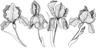 Irises flower in a vector style isolated.
