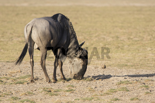 Male antelope wildebeing grazing in a dry savanna in the dry season on a hot day