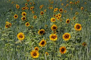 Sonnenblumen  'Helianthus annuus'