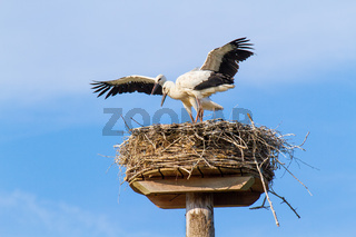 Two young storks stand on nest