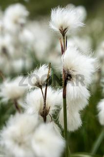 Wollgras im Moor im Dovrefjell