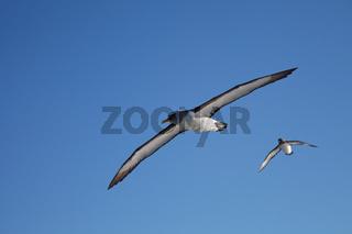 Buller's Albatross, Kaikoura coastline, New Zealand.