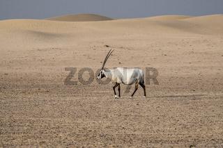 Single Arabian Oryx walking in the desert