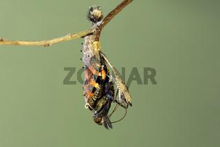 Schlupf des Kleinen Fuchses (Aglais urticae)