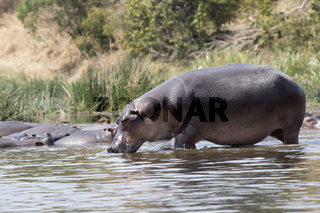 hippopotamus that enters the water of the Nile River from the shore covered with grass and bushes