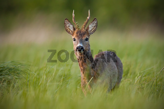 Roe deer, capreolus capreolus, buck in spring at sunset.