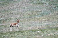 wild ass in qinghai