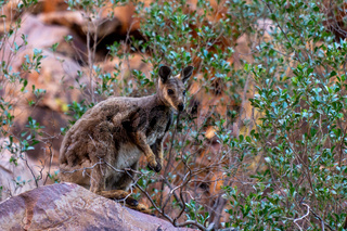 in the Australian outback a kangaroo sits on a rock and looks into the camera