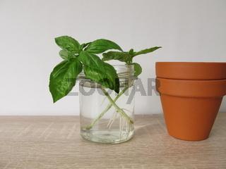 Basilikum nachziehen im Wasserglas