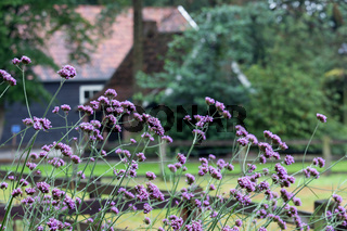 Purple flowers near old Dutch farmhouse and shed