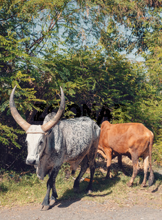 Ethiopian cattle on the road, Amhara, Ethiopia
