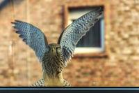 Falke breitet Flügel aus