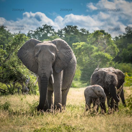 Elephants family in Kruger National Park, South Africa.
