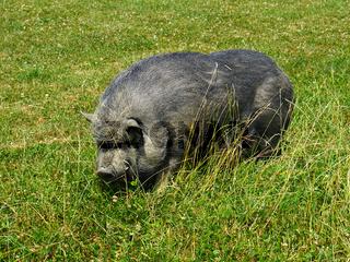 Hängebauchschwein auf der Wiese