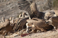 Griffon vultures (Gyps fulvus) eating. Natural Park of the Mountains and Canyons of Guara. Huesca. Aragon. Spain.