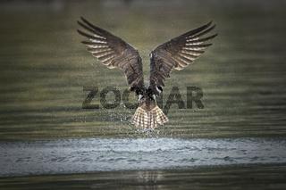 Back side of an osprey flying away.