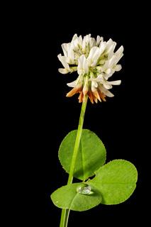 White Trifolium repens_White clover on black