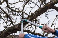 Winterschnitt bei Obstbaum mit Astschere - Nahaufnahme
