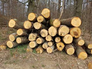 Eichenstaemme, Eichenbaum, Quercus, Robur