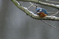 bei Schnee und Eis... Eisvogel * Alcedo atthis * bei der Jagd im Winter