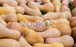 Long pumpkin autumn background. Vintage field of vegetables close-up