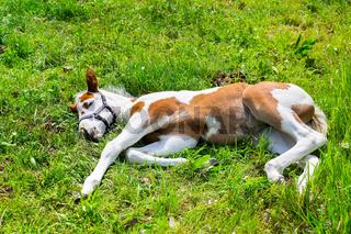Newborn foal lying in green meadow