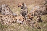 Close-up of cheetah and cubs eating carcase
