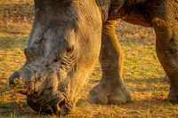 Close up of a White rhino grazing.