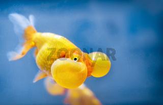 A bubble eye fish goldfish close up