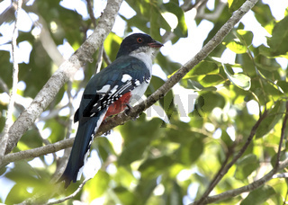 Cuban trogon or tocororo that sits on a branch in the crowns of trees in the forest on a sunny day