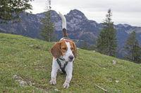 Beagle auf dem Gipfel des Farrenpoints
