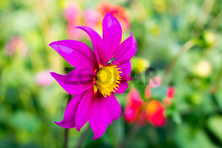 Mexican Aster or Garden Cosmos. Dahlia Cosmos bipinnatus, is a cup shaped herbaceous sun loving plant Blooms in early spring to late summer native to Arizona in US Mexico, Guatemala to Costa Rica.