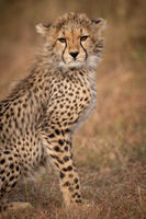 Close-up of cheetah cub sitting on savannah